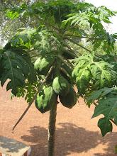 Photo: A papaya tree in the school's garden