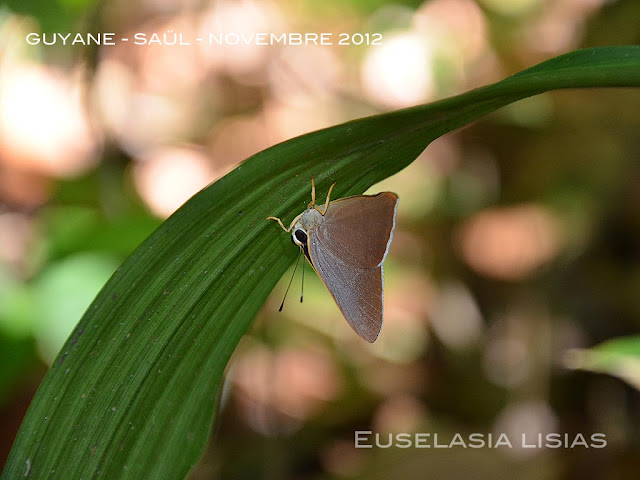 Euselasia lisias (CRAMER, 1777), mâle. Saül, novembre 2012. Photo : M. Belloin
