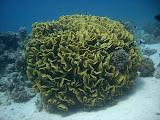 A salad coral (© 2007 Bernd Neeser)
