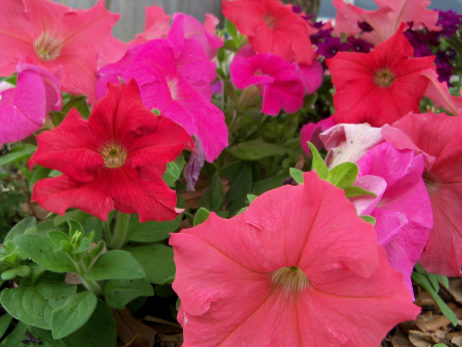 Gardening 2011 - 100_7277.JPG