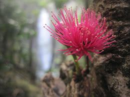 Syzygium malaccense (Malay apple) and Alelele Falls.