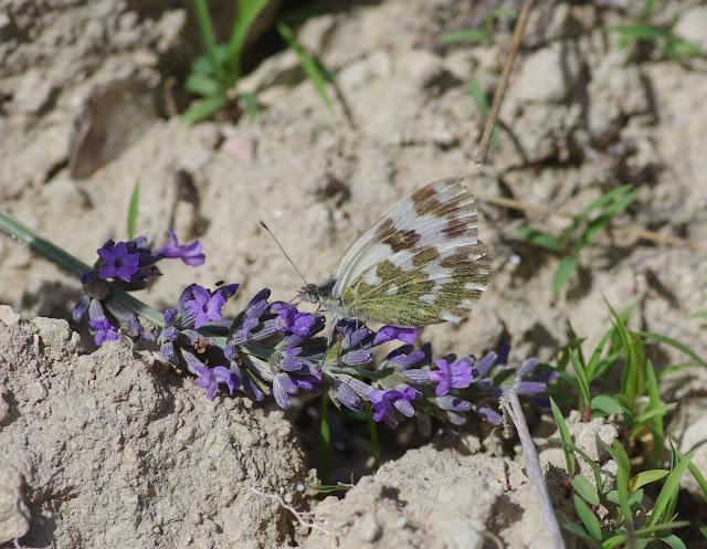 Pontia daplidice (Linnaeus, 1758), mâle. Les Hautes-Courennes (460 m), Saint-Martin-de-Castillon (Vaucluse), 22 juin 2015. Photo : J.-M. Gayman