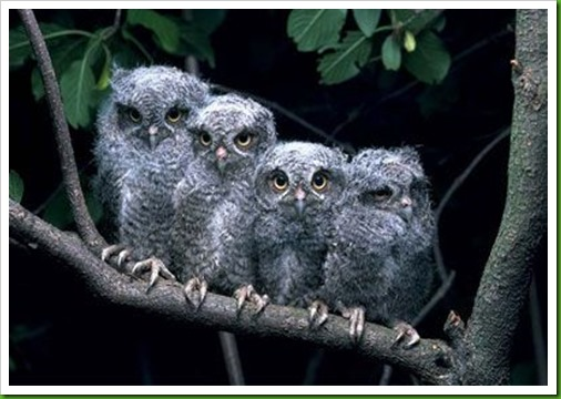 owletts
