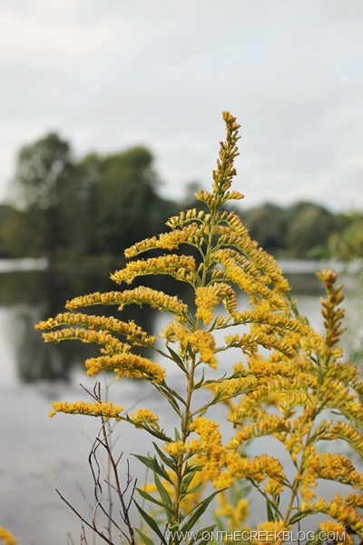 Goldenrod flowers