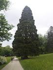 Der Mammutbaum