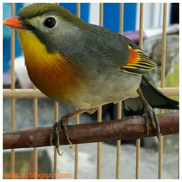 Cara Merawat Burung Robin Agar Rajin Bunyi Dan Cepat Gacor On Kicau