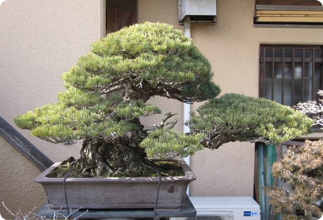 bonsai-diaju