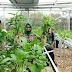 Anggarkan Puluhan Juta, Lurah Nglindur Panen Sayuran Hidroponik