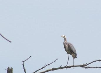 Heron Colony at Libby Hill-003.JPG