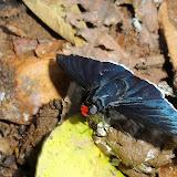 Hesperiidae : Pyrrhopyge species. Colider (Mato Grosso, Brésil), mai 2011. Photo : Cidinha Rissi