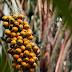 Fruto da Amazônia pode substituir óleo de Palma