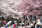 da-nang-hotel-cherry-blossom-festival
