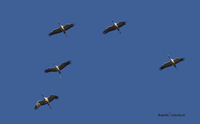 cocor grus crane pasari migratoare birds birdwatching