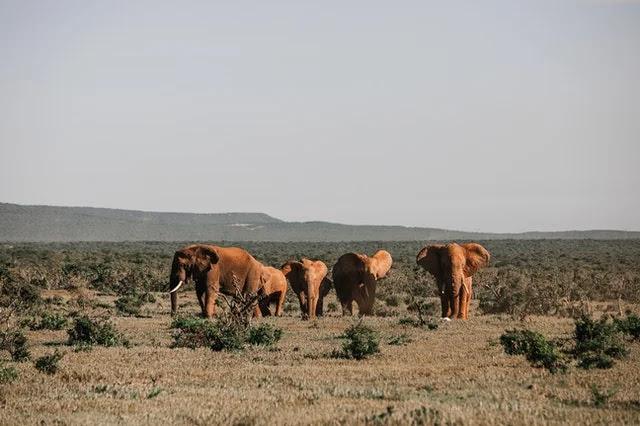 Elephants in African safari