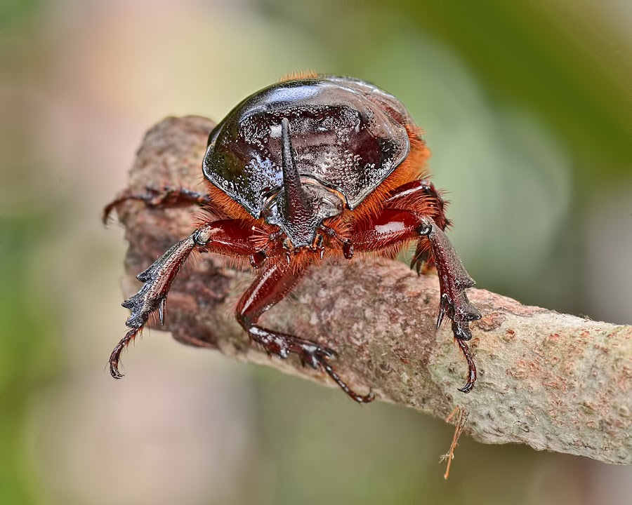 Rhinoceros Beetle by Meorjay Creation - Animals Insects & Spiders