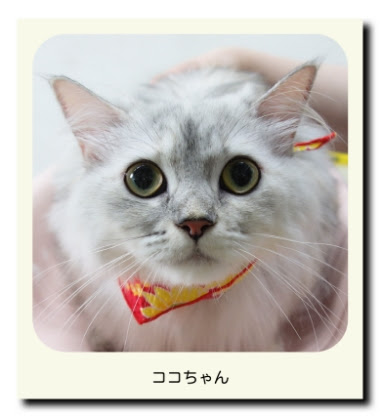 猫のココちゃん