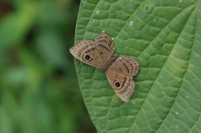 Riodininae : Mesosemiini : probablement Mesosemia zorea HEWITSON, 1869. Allapa, route de Satipo (Junin, Pérou), 6 janvier 2011. Photo : Meena