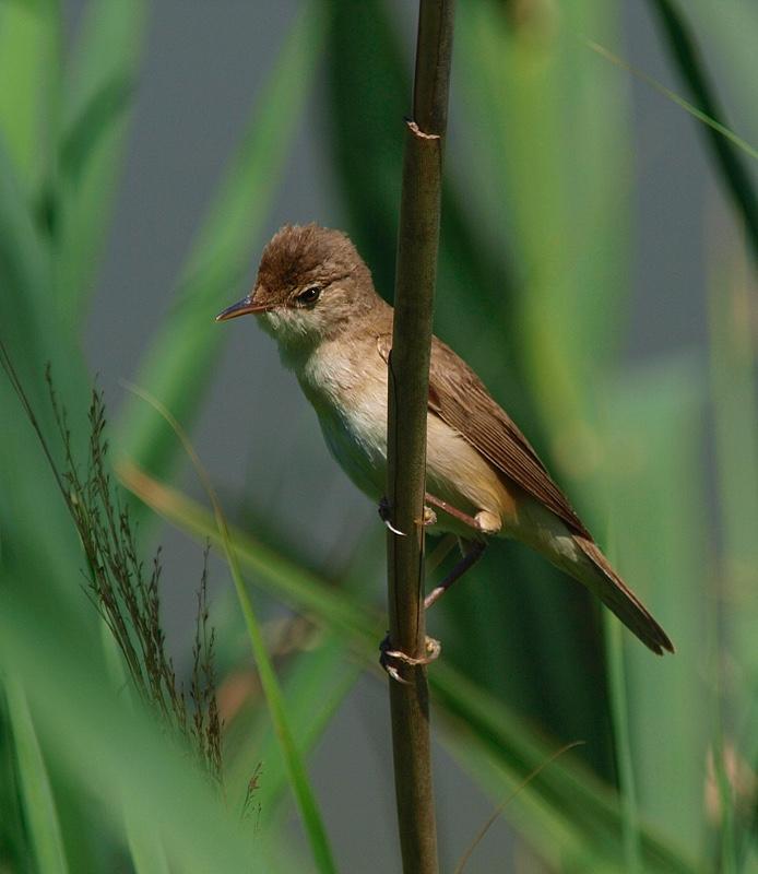 Carricero común (Eurasian reed warbler)