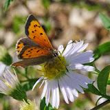 Lycaena phlaeas phlaeas (L., 1761), mâle. Les Hautes-Lisières (Rouvres, 28), 7 octobre 2013. Photo : J.-M. Gayman
