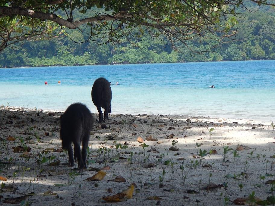 Babi hutan, salah satu penghuni Peucang