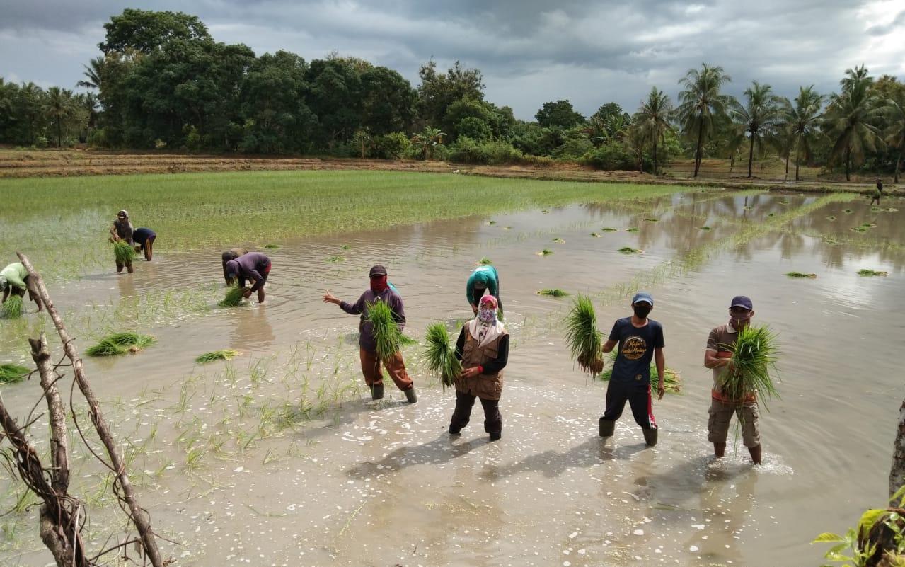 Penyuluh Pertanian Kec. Takkalalla Kab.Wajo Tetap Setia Dampingi Petani Percepat Tanam Ditengah Pandemi Covid 19