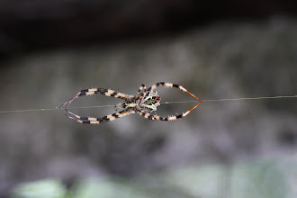 Photo: Tiger orb weaver? Argiope?
