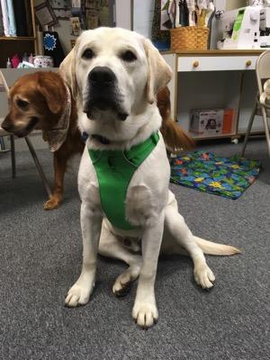 Labrador Retriever wearing a new harness