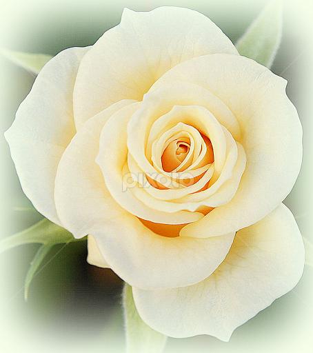 White rose single flower flowers pixoto white rose by caroline beaumont flowers single flower white flower white rose mightylinksfo