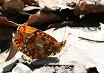 Rødlig perlemorsommerfugl2.jpg