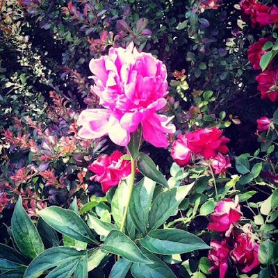 peony in a small urabn garden