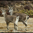 Himalayan Blue sheep