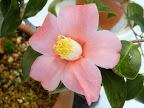 桃紅色 一重 ラッパ咲き 筒しべ 小輪