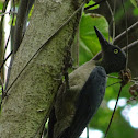Ashy woodpecker
