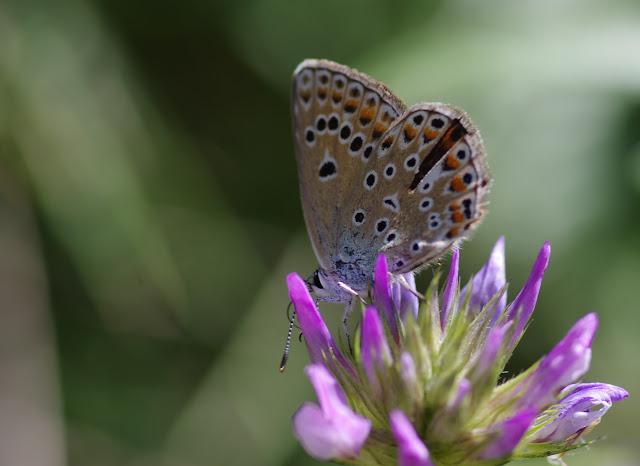 Polyommatus escheri (Hübner, 1823), ♀. Les Hautes-Courennes, Saint-Martin-de-Castillon (Vaucluse), 17 juin 2015. Photo : J.-M. Gayman