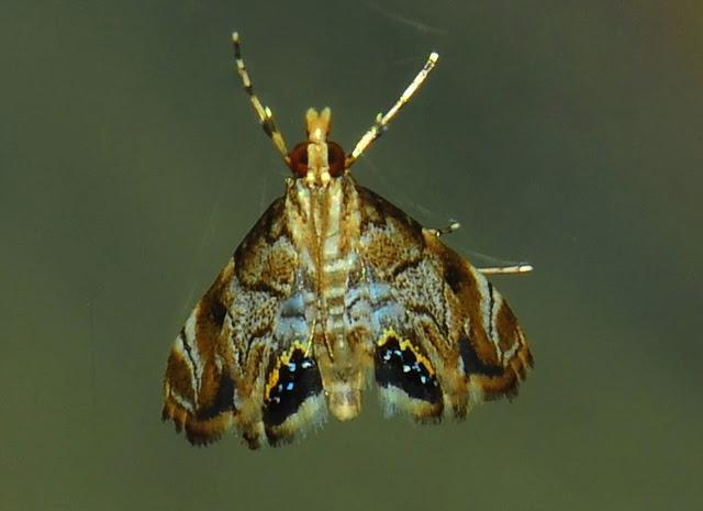 Crambidae : Nymphulinae : Hylebatis scintillifera TURNER, 1908. Umina Beach (N. S. W., Australie), 23 janvier 2012. Photo : Barbara Kedzierski