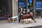Dog walking: big business in BA.