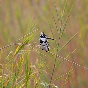Pied Kingfisher, Botswana