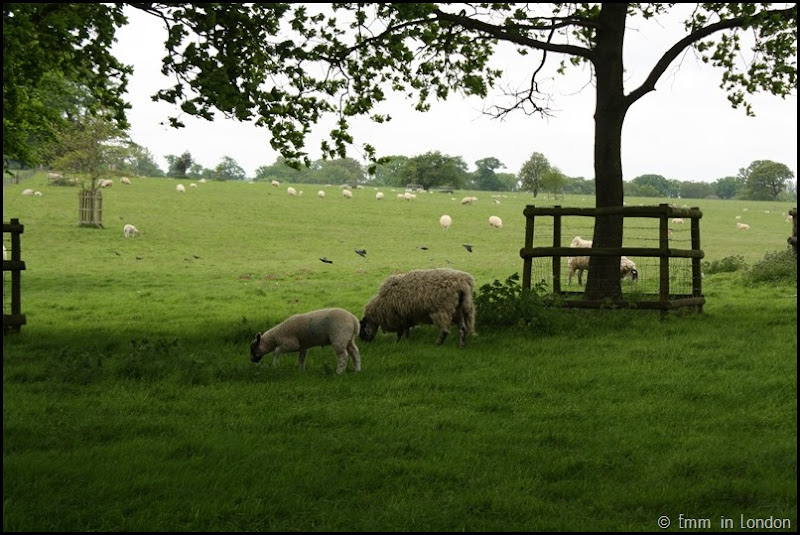 Sheep of Felbrigg Hall