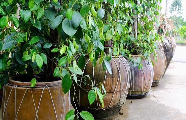 Tiêu trồng… trong chậu vẫn chi chít quả - 55dcf7e47358a