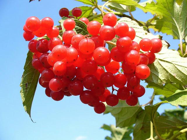 Cranberries in hindi