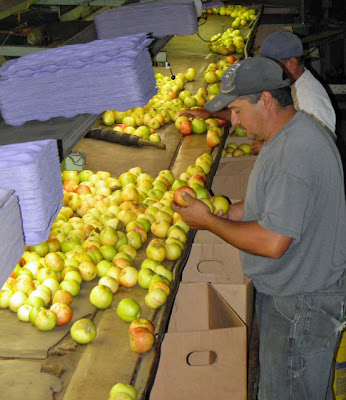 Farm workers at the Twin Hill Ranch wash, grade, and inspect each apple from the processing machine.