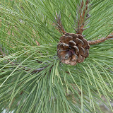 Red-Pine-cone_MG_2744-copy.jpg