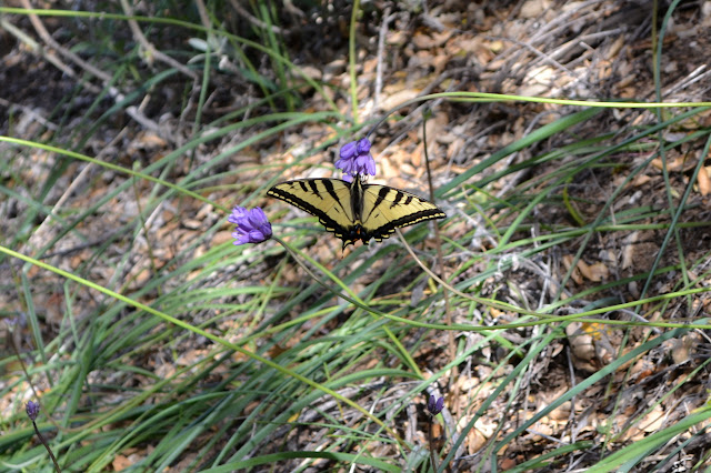 yellow and black swallowtail butterfly