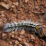 Chenille : Arctiidae ? Ouest de Shaxi à 2800 m, 10 août 2010. Photo : J.-M. Gayman