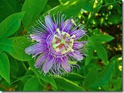 Passiflora_incarnata_002