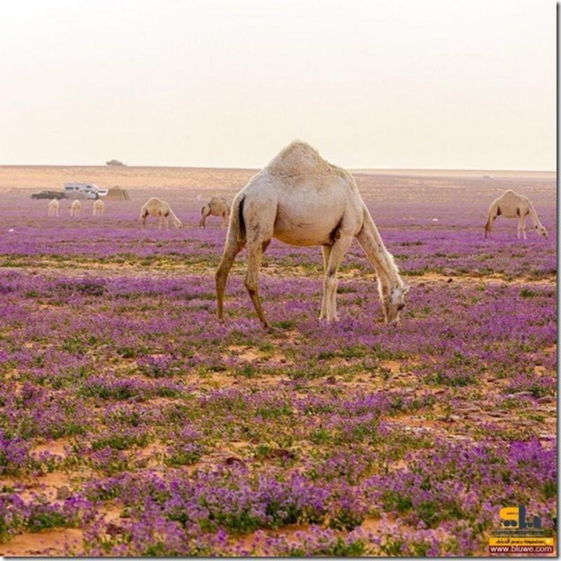 Sorprendentes imágenes del desierto con flores de lavanda