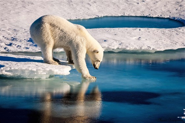 A polar bear tests the strength of sea ice in the Arctic on 13 September 2015. Photo: Mario Hoppmann / European Geosciences Union / AFP / Getty Images