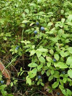 Owoce borówki czernicy Vaccinium myrtillus fruits