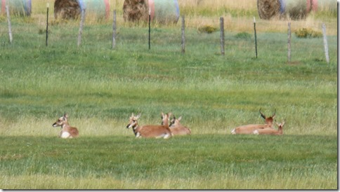 Pronghorn Antelope near Granby, Colordado