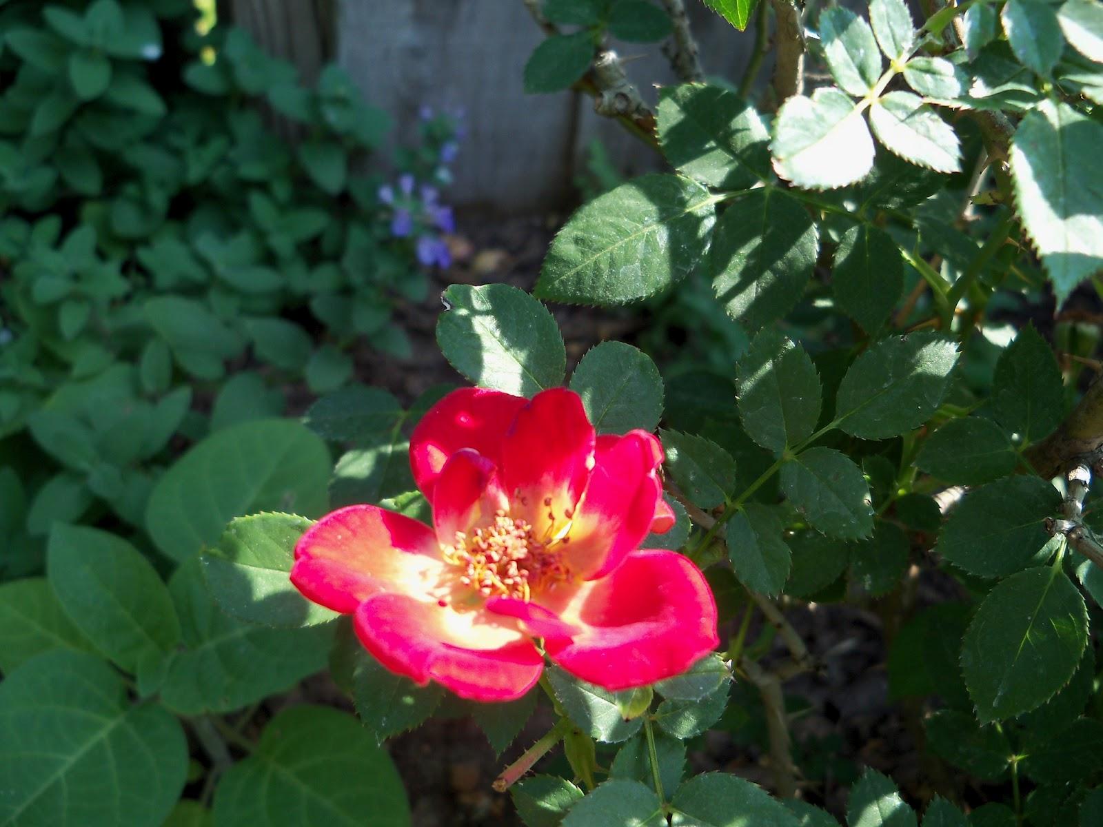 Gardening 2011 - 100_7884.JPG